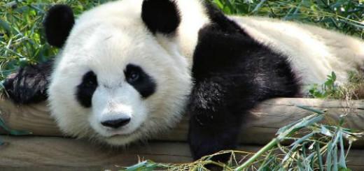 Панда толкование сонника