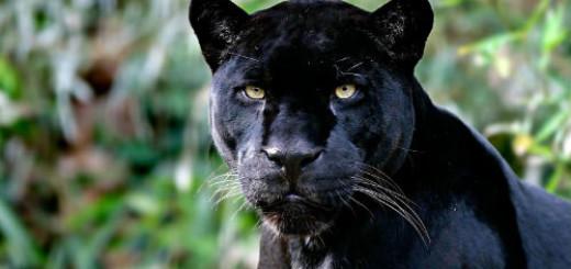 Черная пантера во сне