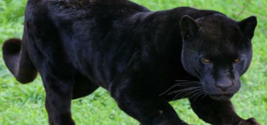 Пантера толкование сонника