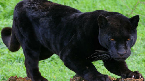 пантера скачать торрент - фото 6