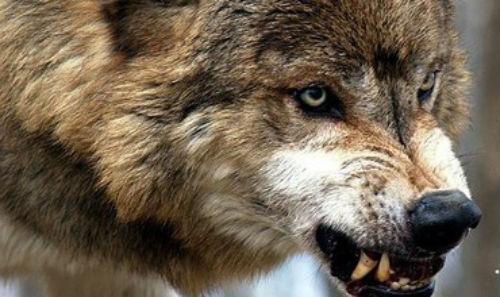 Волк нападает сонник