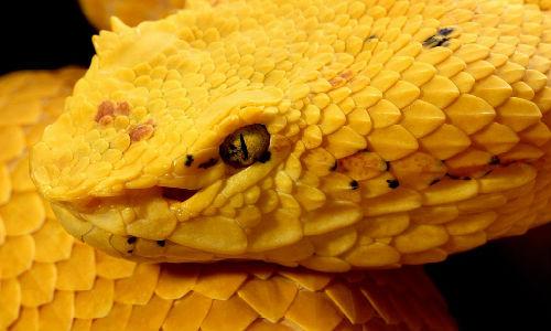 Желтая змея толкование сонника