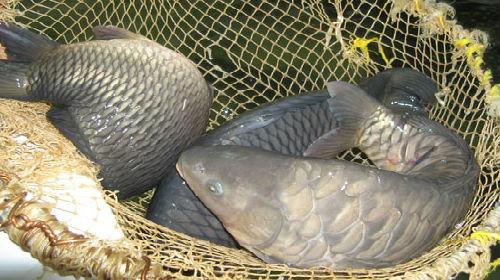 Живая рыба толкование сонника