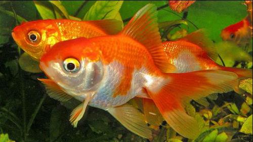 c8ff49b8b4f9b2 Акваріумні рибки тлумачення сонника - допомога оракула
