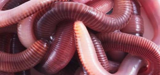 сонник дождевые черви