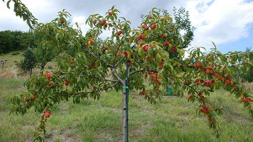 Сонник приснились персики во сне к чему снятся персики