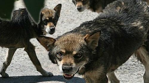 Фото Сонник злая собака кидается и лает