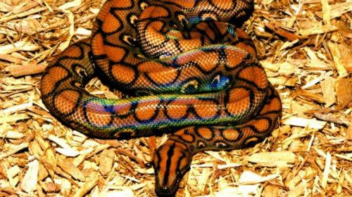 к чему снится большая желтая змея