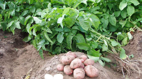 картофель в августе