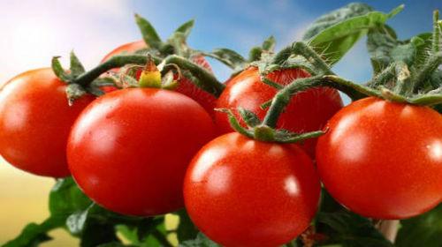 помидоры в августе