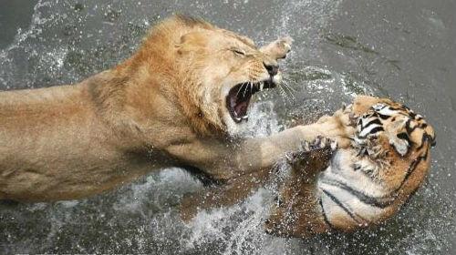 К чему снится лев во сне для женщины: сонник рекомендации