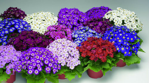 Сонник домашние цветы в горшках
