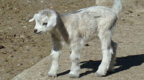 серый козленок