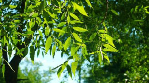 Сонник зеленые кроны деревьев