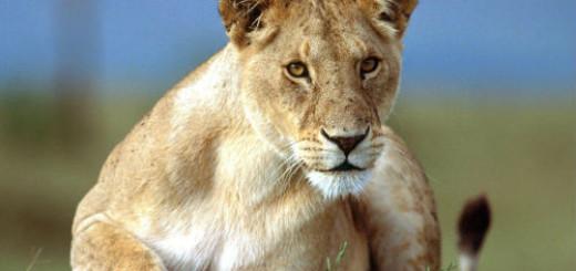 сонник львица