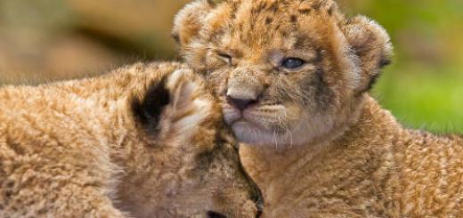 к чему снятся львята