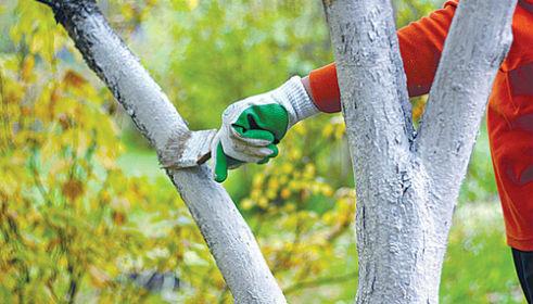 обработка садовых деревьев известью в октябре