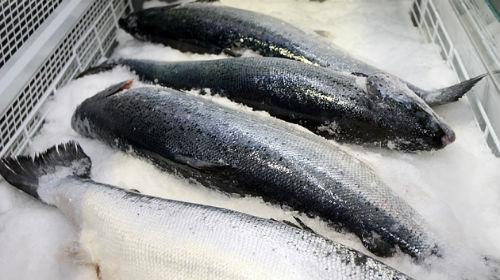 покупать замороженную рыбу