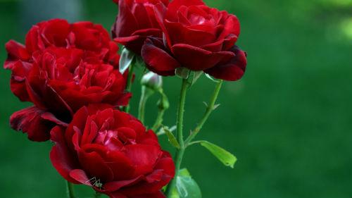 Сонник цветы живые красные