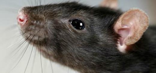 крыса черная во сне
