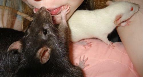 К чему снятся крысы женщине кусает