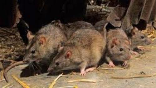 стая крыс нападает