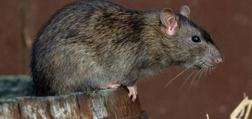 крыса серая во сне