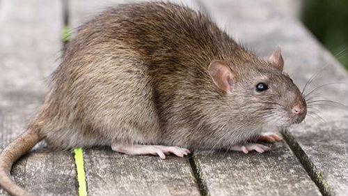 к чему снится крыса убегает