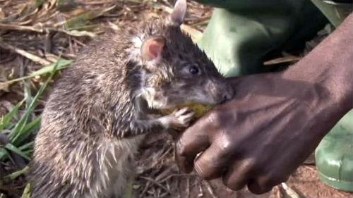 слой сделан укус крысы во сне мужское
