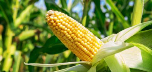 кукурузное поле во сне