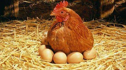 квочка высиживает цыплят