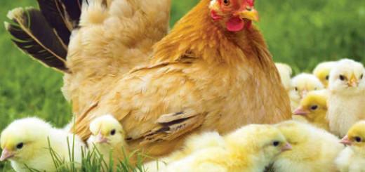 к чему снится курица с цыплятами