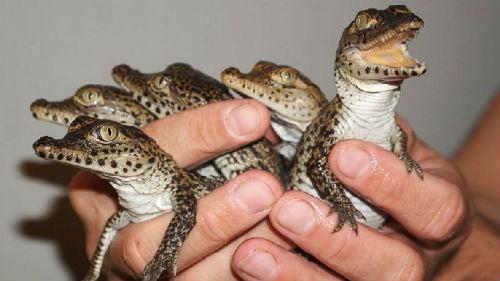 к чему снятся маленькие крокодилы много