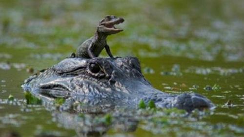 маленький крокодил в воде