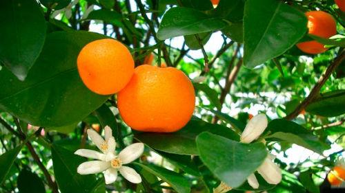 мандарины на дереве во сне