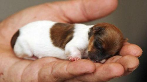 к чему снится маленький щенок