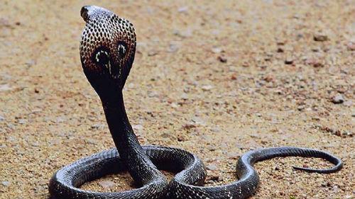 ядовитая кобра