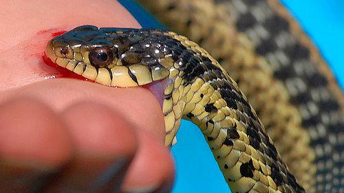 ядовитая змея укусила за руку