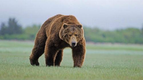 медведь гонится за мной во сне