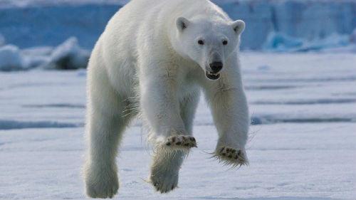 белый медведь гонится