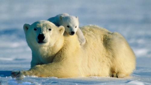 сонник медведица с детенышем