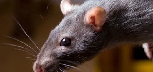 мертвая крыса в доме во сне