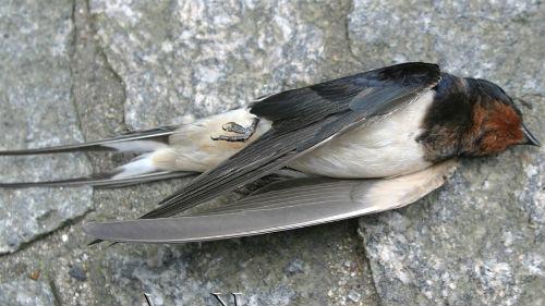 убитая птица