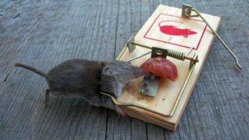 мертвая мышь в мышеловке