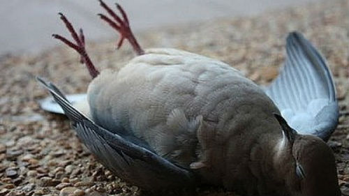 во сне мёртвый голубь