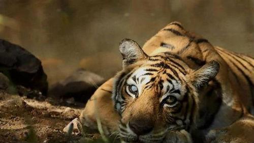 к чему снится тигрица