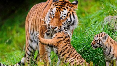 тигрица с тигрятами