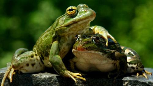 к чему снятся лягушки женщине много лягушек