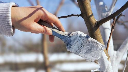 побелка деревьев весной в марте