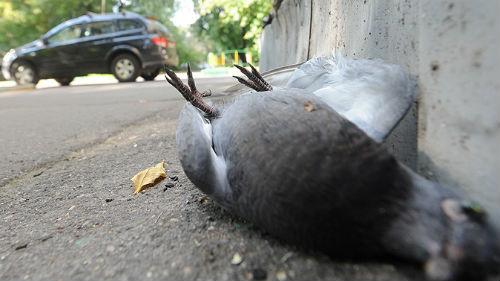 темный сонник голубь